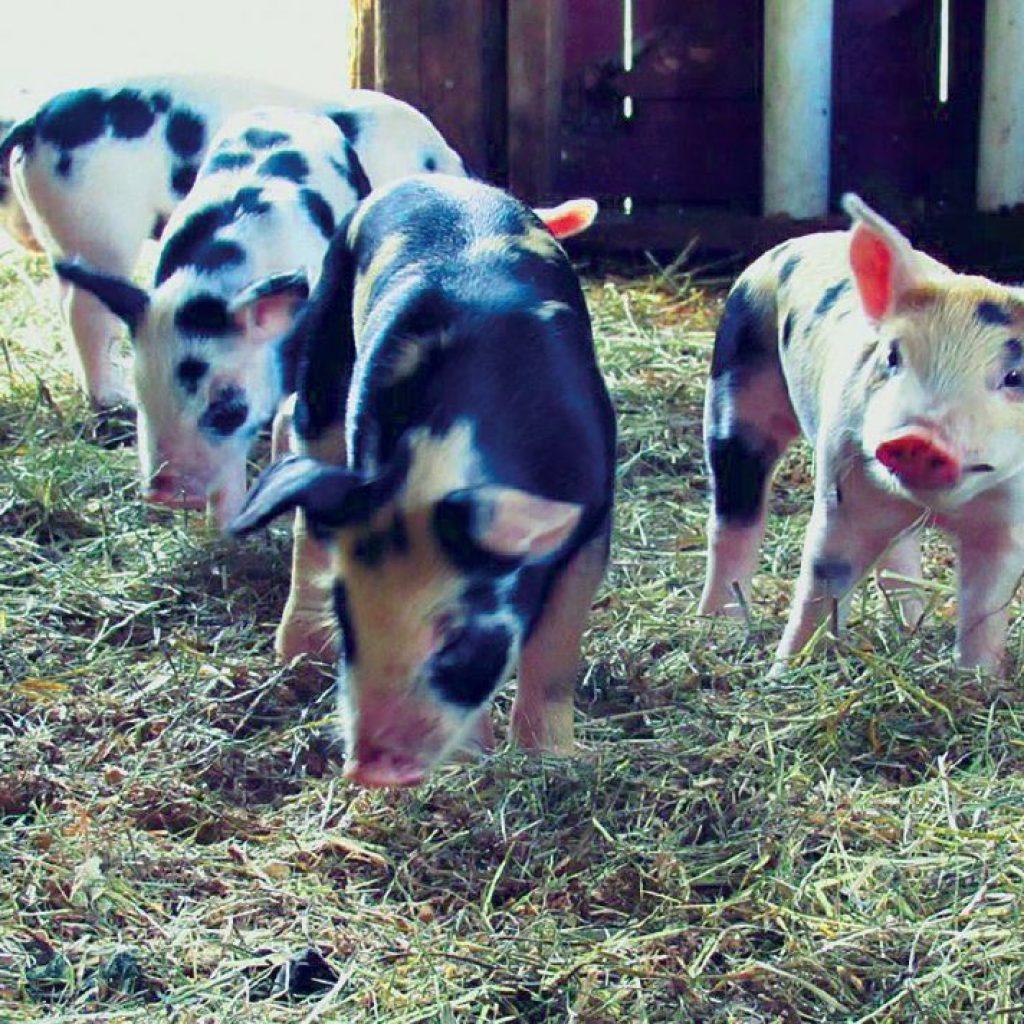 pigs at merck forest rupert vermont