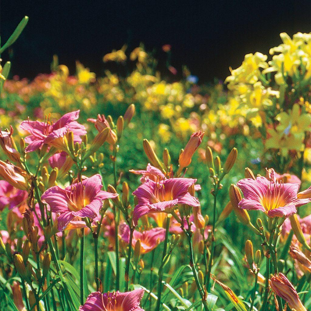 lillies flowers